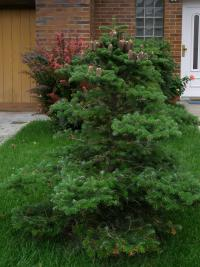 Abies koreana   Korean fir plant