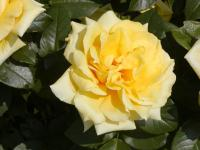 Rosa      'Friesia'  Rose flowers
