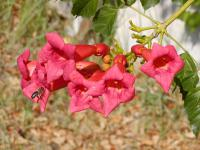 Campsis radicans   Trumpet-creeper flowers