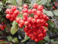 Pyracantha coccinea  'Mohave'  Firethorn fruits