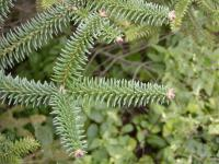 Abies pinsapo   Spanish fir twings