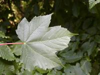 Acer pseudoplatanus   sycamore maple leaves front face