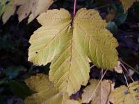 Acer pseudoplatanus   sycamore maple leaves
