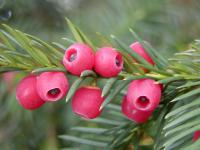 Common Yew Taxus baccata