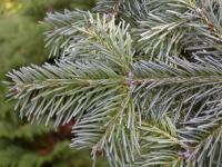 Abies lasiocarpa   - subalpine fir