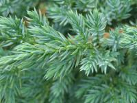 Juniperus squamata      'Blue Star'  singleseed juniper needle