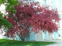 Malus x purpurea   - purple crabapple