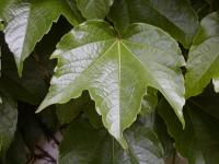 Parthenocissus tricuspidata       'Veitchii'  Boston ivy leaves