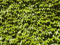 Parthenocissus tricuspidata 'Veitchii'  Boston ivy plant