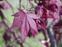 Acer palmatum   'Atropurpureum'  Japanese maple leaves