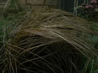 Carex comans  'Bronze' - New Zealand hair sedge