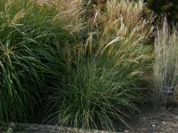 Miscanthus sinensis 'Adagio'  Chinese Silver Grass plant