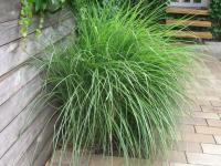 Miscanthus sinensis 'Gracillimus'  Chinese Silver Grass plant