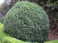 Buxus sempervirens   - common boxwood