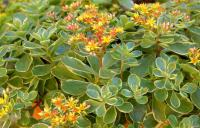 Sedum kamtschaticum    'Variegatum'  orange stonecrop leaves