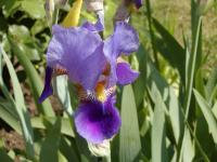 Iris x germanica   iris flowers