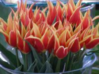 Tulipa  'Aladdins Record' - tulip
