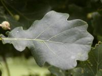 Quercus robur     'Fastigiata'  Columnar English Oak leaves front face