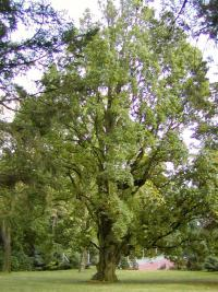 Quercus robur 'Fastigiata'  Columnar English Oak plant