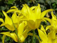 Tulipa      'West Point'  tulip flowers