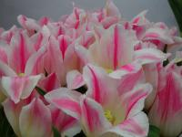 Tulipa  'Holland Chic'  tulip flowers