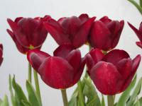 Tulipa  'Jan Reus'  tulip flowers