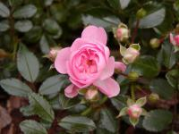 Rosa          'The Fairy'  Rose flowers