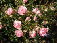 Rosa   'The Fairy'  Rose plant