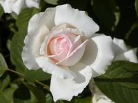 Rosa     'New Dawn'  Rose flowers