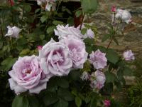 Rosa   'Mainzer Fastnacht'  Rose flowers