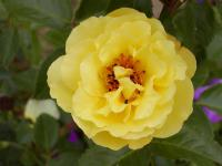 Rosa 'Royal Gold'  Rose flowers