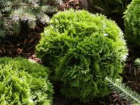 Thuja occidentalis  'Little Gem'  Eastern Arborvitae plant