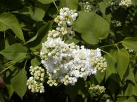 Syringa vulgaris   'Madame Lemoine'  Common Lilac flowers