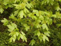 Acer campestre   Common maple flowers