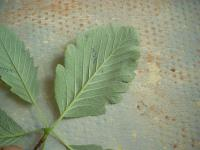 Sorbus mougeotii   Vosges whitebeam leaves back face