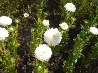 Callistephus chinensis 'White Matador'  - China Aster