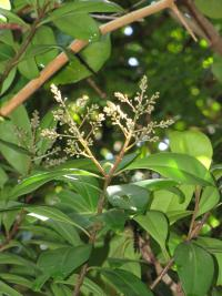 Marlberry - flowers and leaves (Ardisia escallonioides)