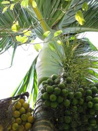 Betel palm - fruit and sheath (Areca catechu)