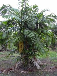 Philippine Dwarf Sugar Palm - habit (Arenga tremula)