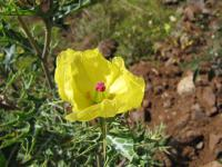 Mexican poppy - flower (Argemone mexicana)