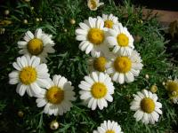 Paris daisy - White Imperial flowering habit (Argyranthemum frutescens)