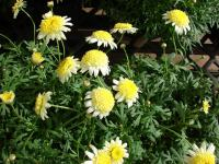 Paris daisy - Courtyard Butter Cream flowering habit (Argyranthemum frutescens)