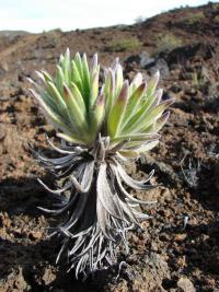 Silversword - leaves