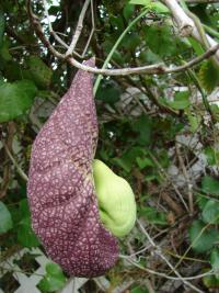 (Aristolochia littoralis) Calico flower - flower