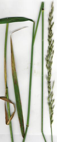 False Oat