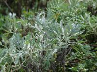 (Artemisia australis) Oahu Wormwood - leaves