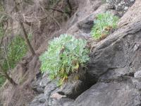 Oahu Wormwood - leaves