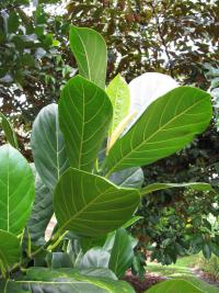 Jackfruit - leaves