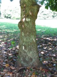(Artocarpus heterophyllus) Jackfruit - trunk and bark
