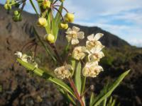 Balloon plant - flowers (Asclepias physocarpa)